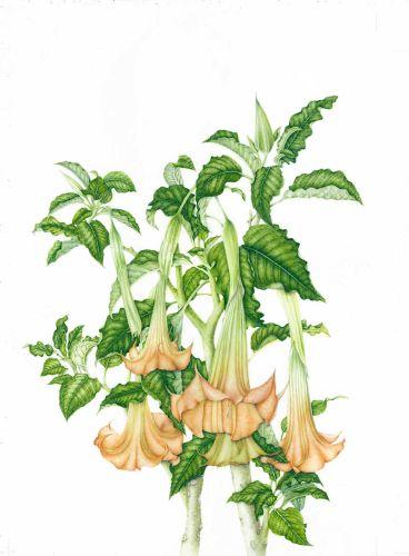 Brugmansia-suaveolens800