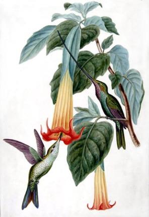 colibri y floripondio
